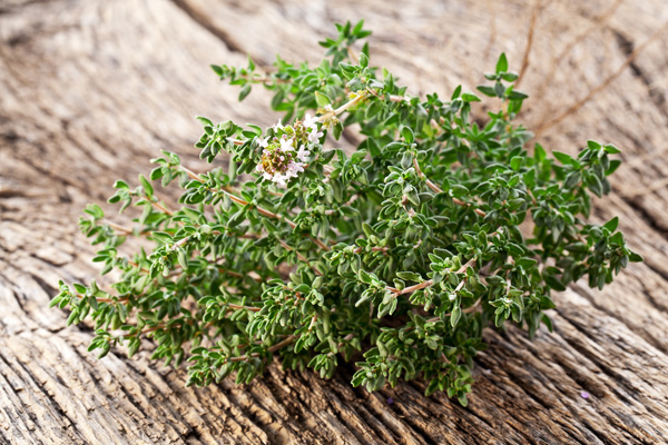 thym plante aromatique